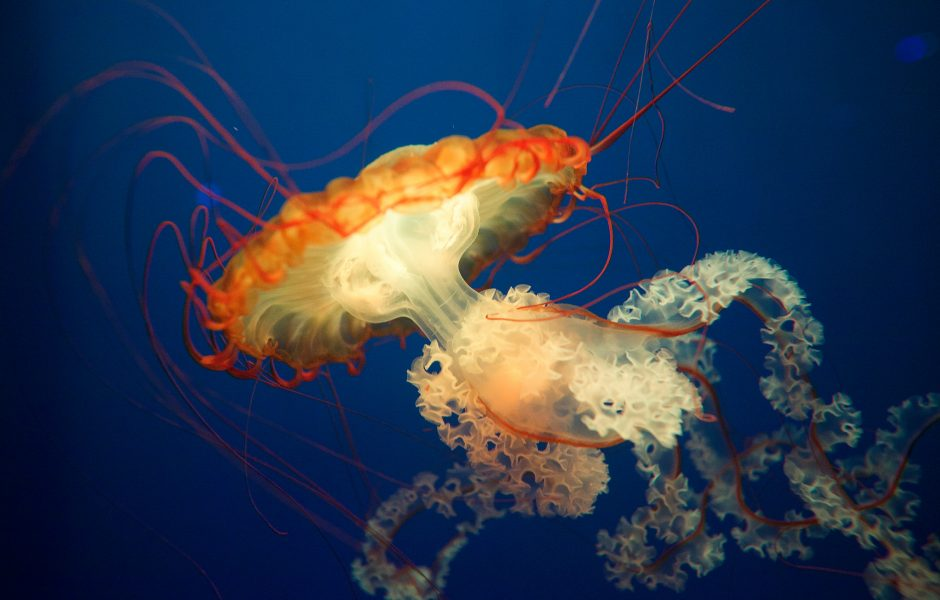 Jellyfish by Aurelien Guichard.