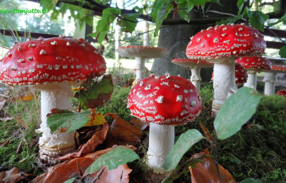 Fly Argaric Toadstools by Tom Jutte.