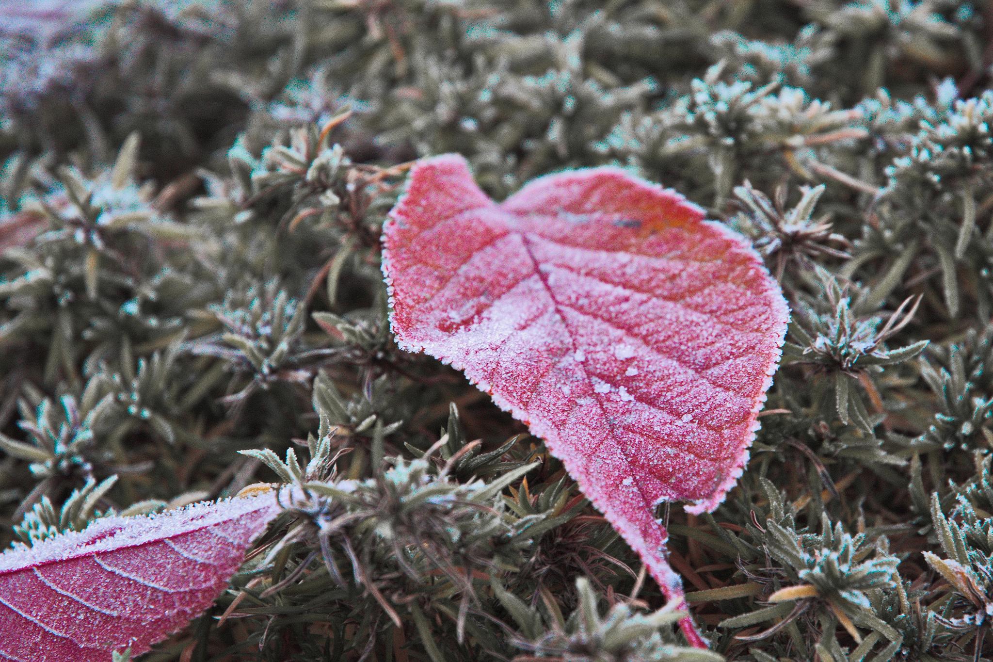 Frozen Leaf by Michael
