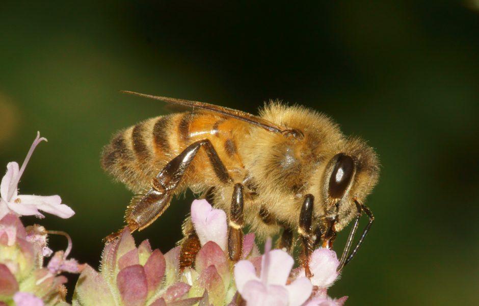 Honey Bee (Apis Mellifera) by Bramblejungle.