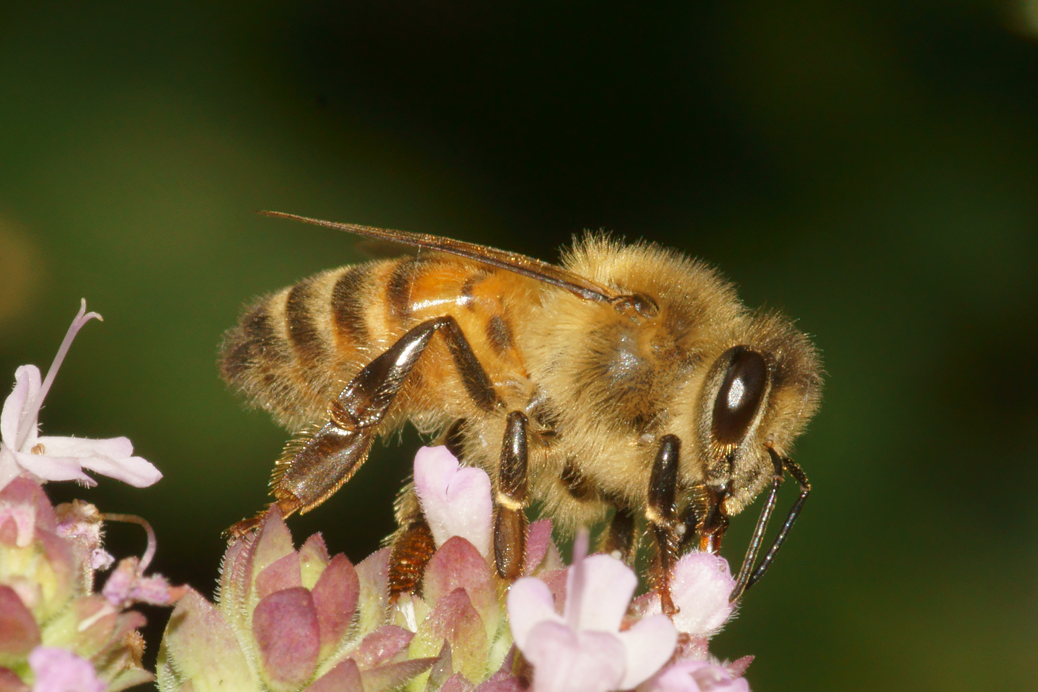 Honey Bee (Apis Mellifera) by Bramblejungle.